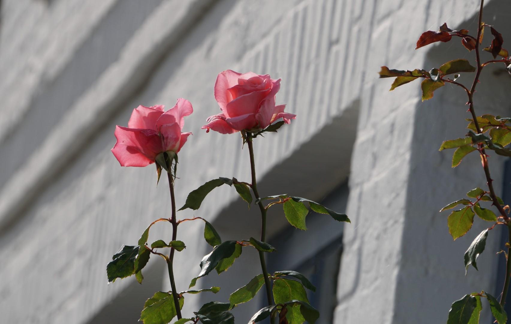 Arnis - die letzten Rosen