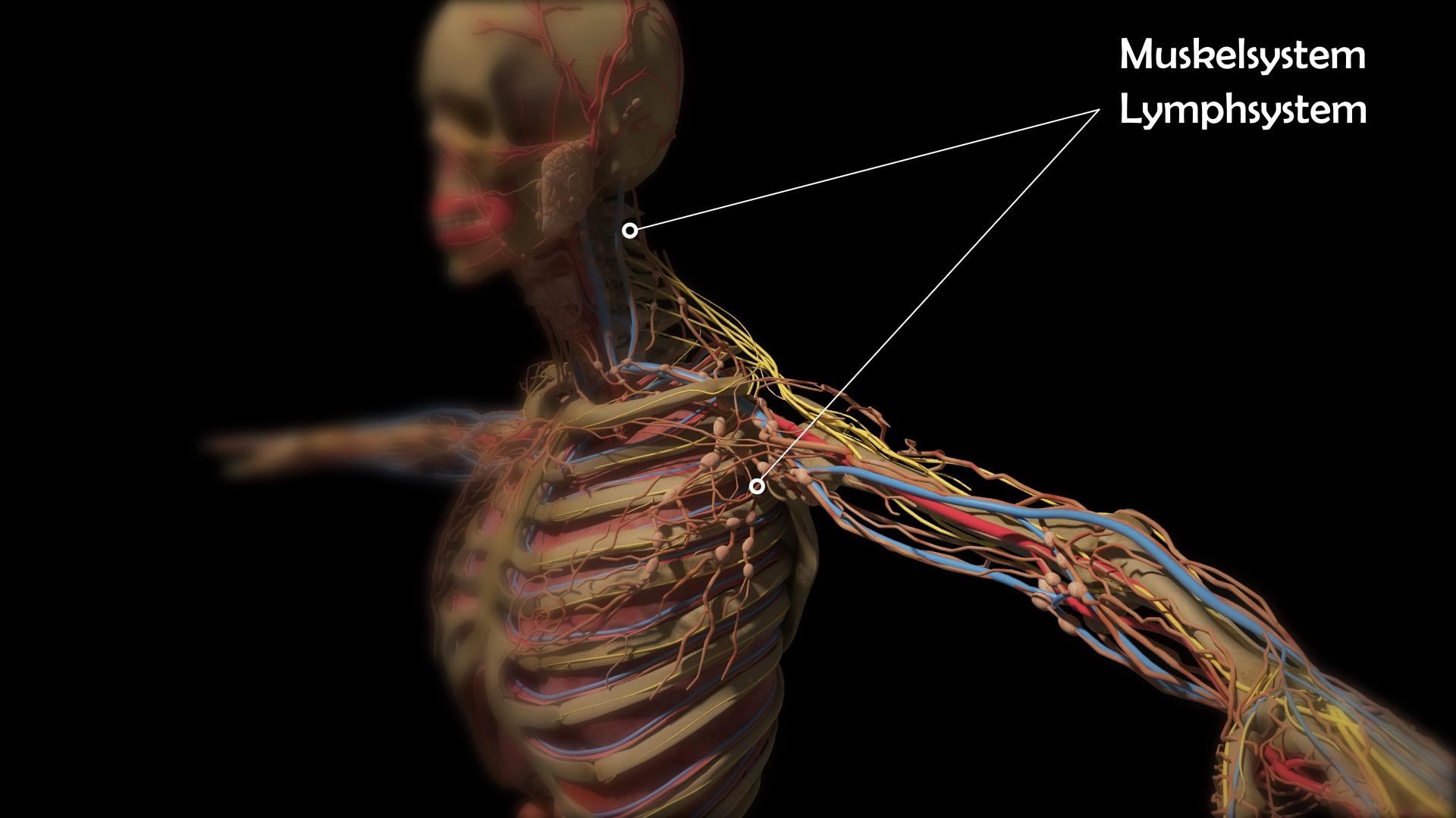 Berühmt Menschliche Anatomie Und Physiologie Muskelsystem Bilder ...