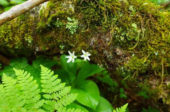 オロフレ山の植物