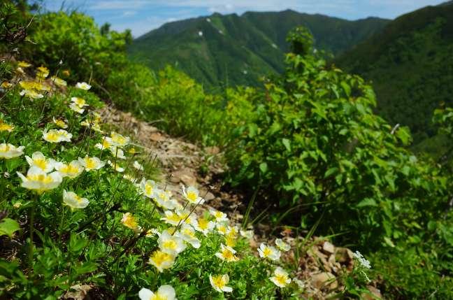 チングルマと石狩岳