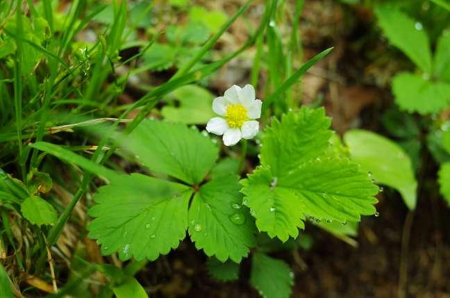 オロフレ山の高山植物