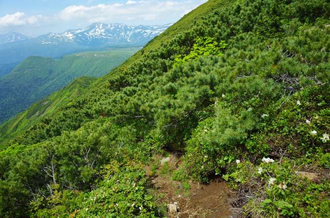 キバナシャクナゲとトムラウシ山
