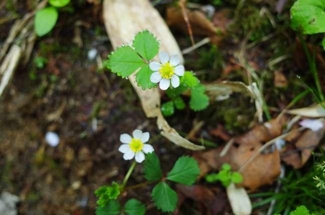 オロフレ山の花