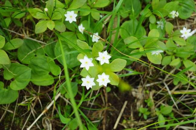 雨竜沼湿原の花