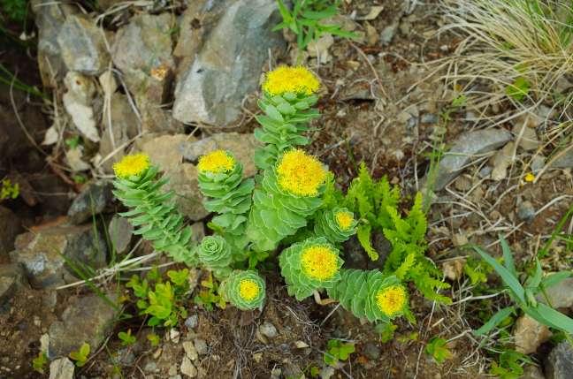 神居尻山に咲く高山植物