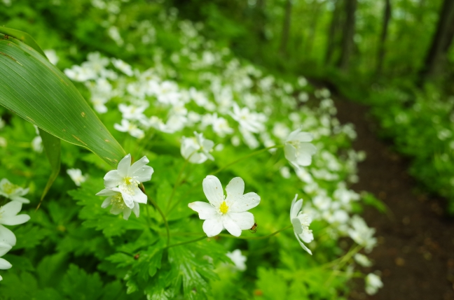 札幌自然歩道のハイキング|円山から藻岩山、砥石山を越えて奥三角山へ(5月下旬)