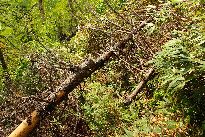 ウペペサンケ山登山道倒木