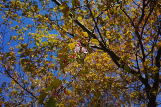3月中旬は桜の咲き始め