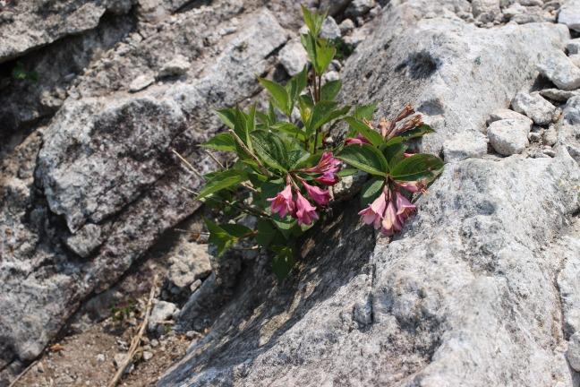 伽倻山の花々