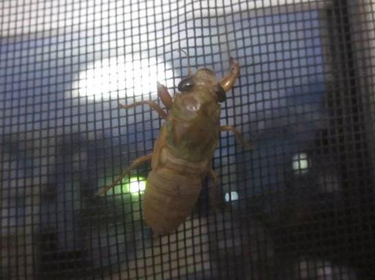 ツクツクホウシの幼虫