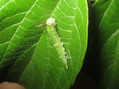 ゴマダラチョウ4齢幼虫