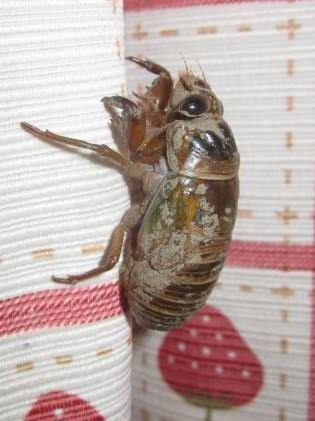 2020/7/12に捕獲したクマゼミの幼虫