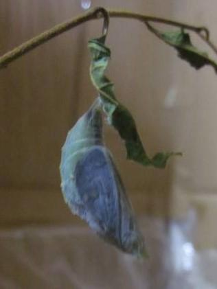 中の翅の色が透けて見えている(ゴマダラチョウの蛹)