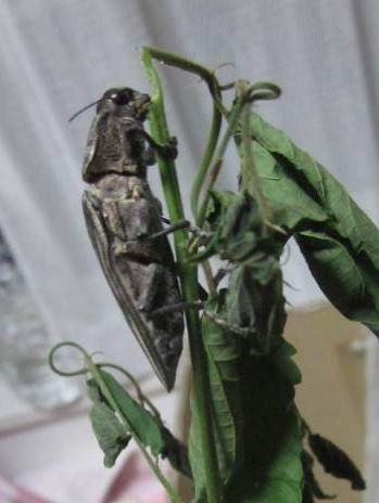 エノキの枝をかじるウバタマムシ