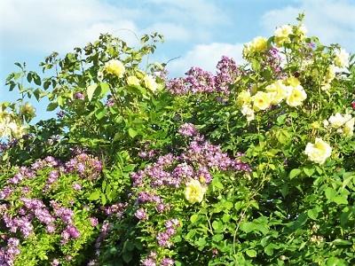 Klettergerüst Rosen : Rosen ii taglilien im wesertals webseite