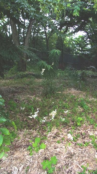 落花したヤマユリ 自然林