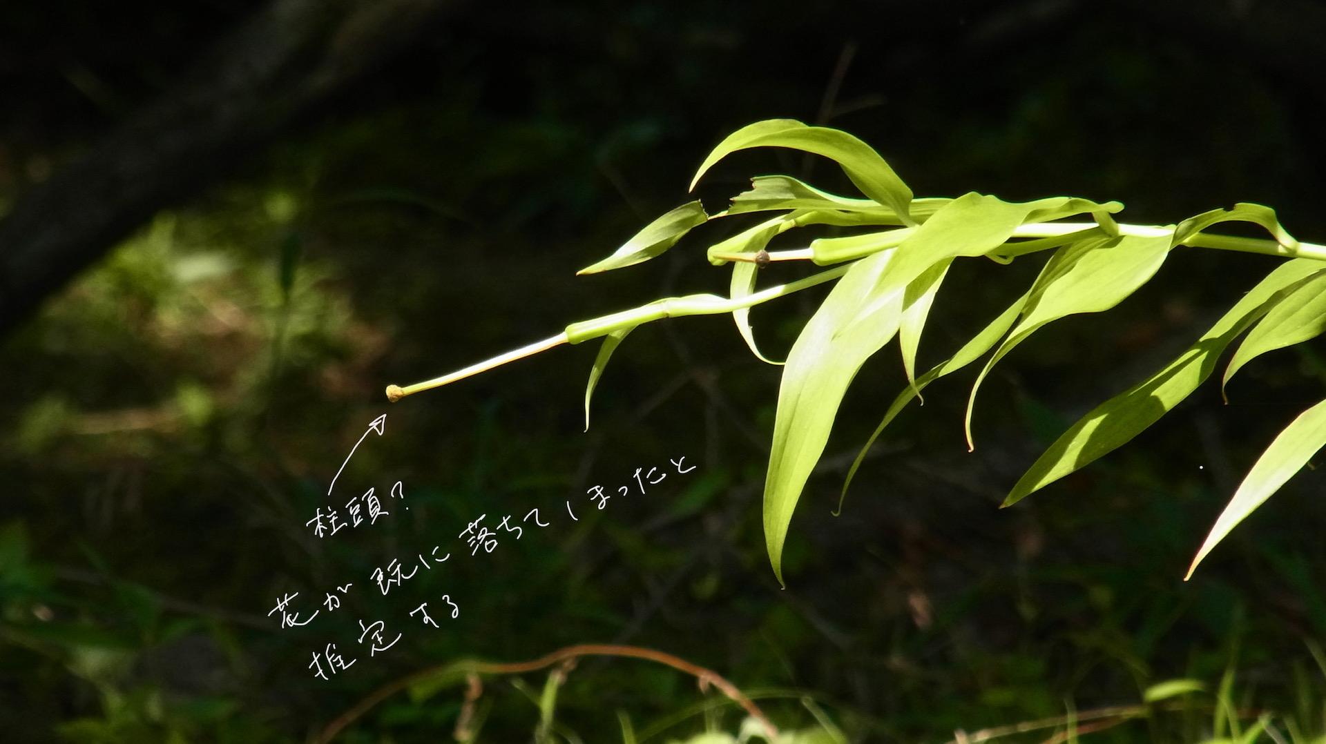 ヤマユリの柱頭 自然林