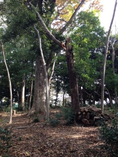 観察の森の危険木
