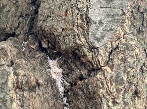 雄が出したと思われる穿孔跡と繊維状フラス
