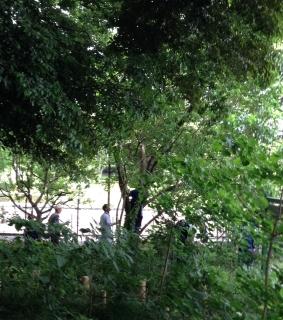 クワの木に登る