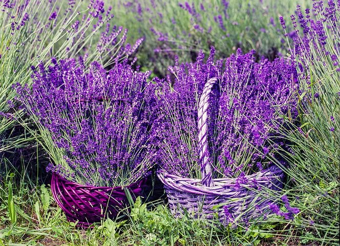 Lavendel - das Universalgenie