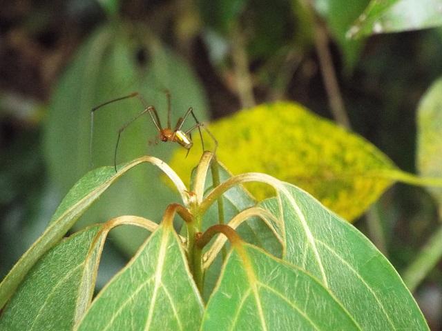 オオシロカネクモ