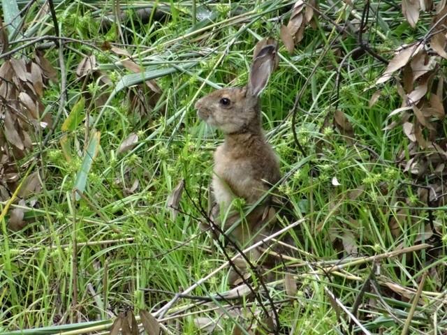 ノウサギ(下見)