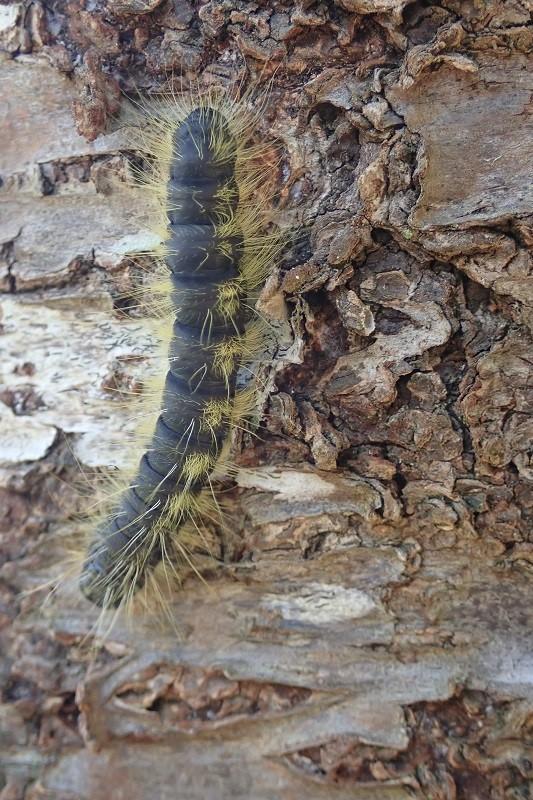 モンクロシャチホコの用幼虫(少し成長したもの)