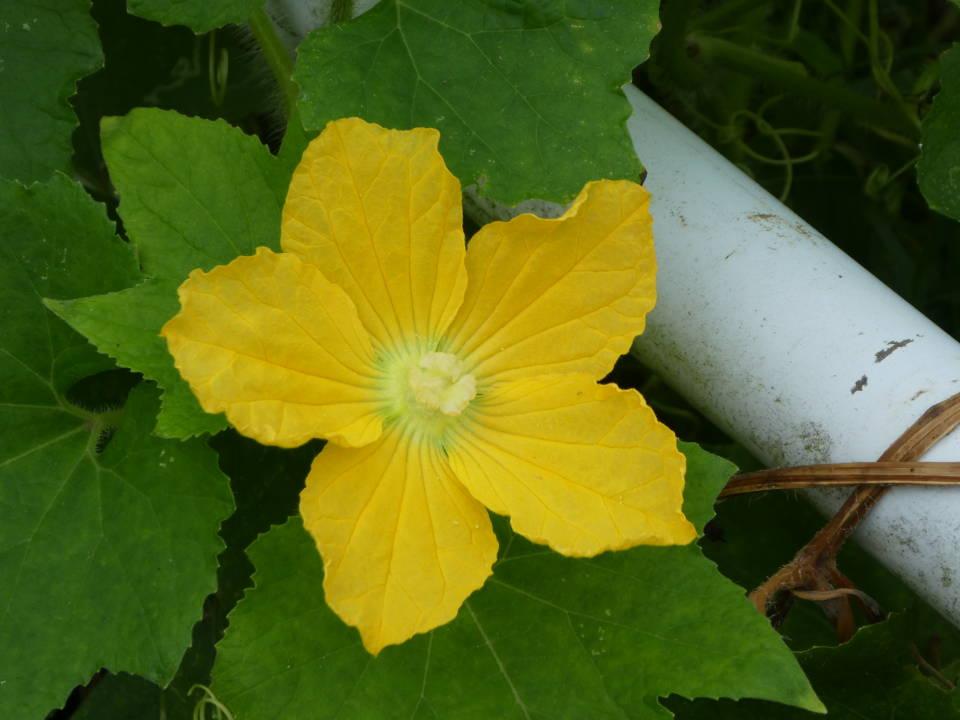 トウガンの花