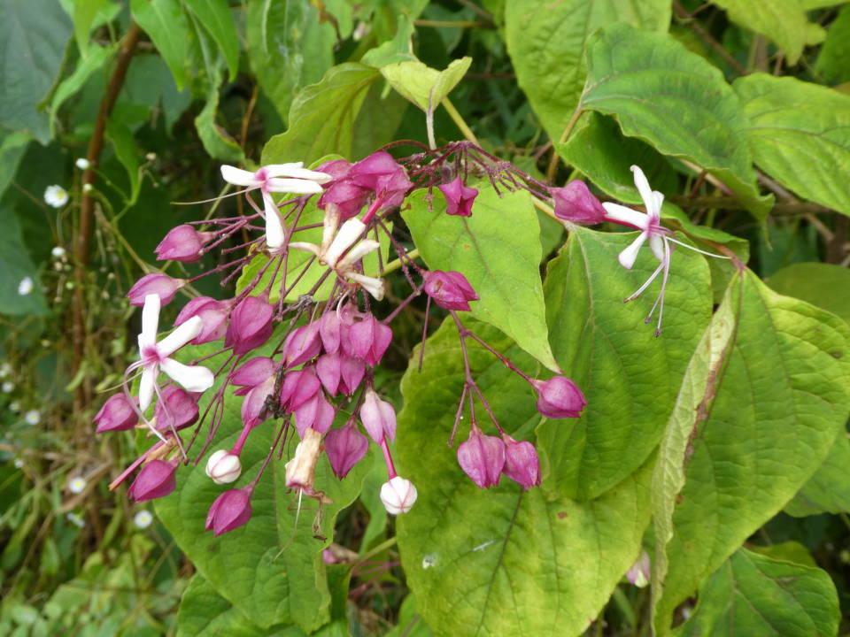 ③キンモクセイの香りの漂う中、坂を登っていくと左の空き地にクサギの花と実