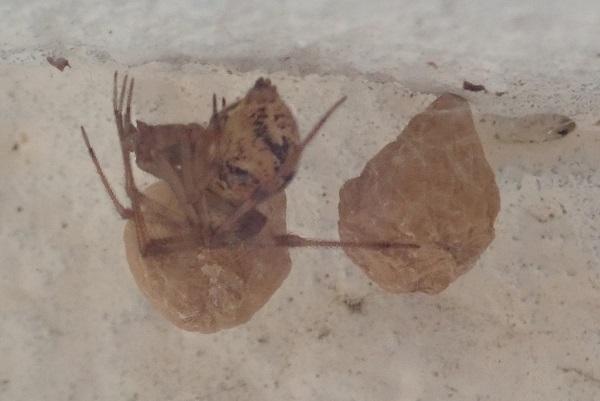 オオヒメグモ