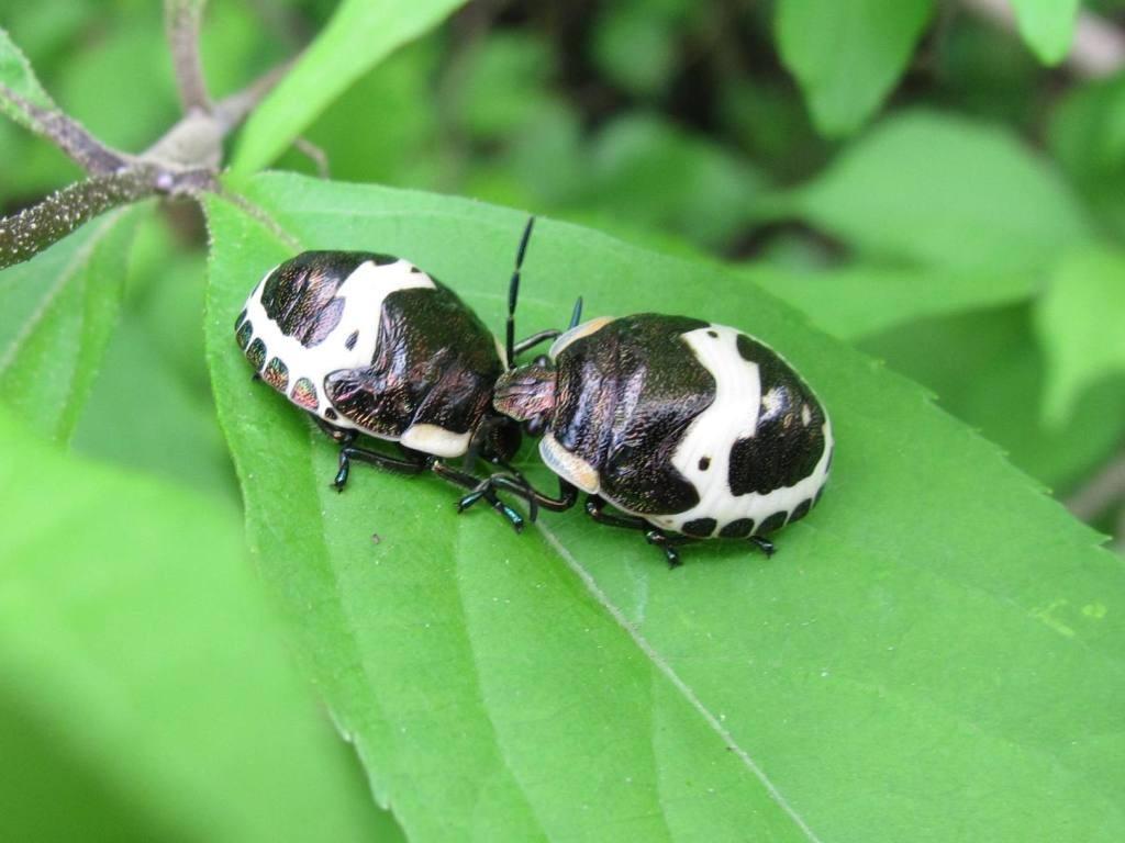 アカスジキンカメムシ(幼虫)