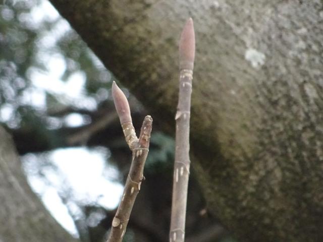 ホオノキ冬芽