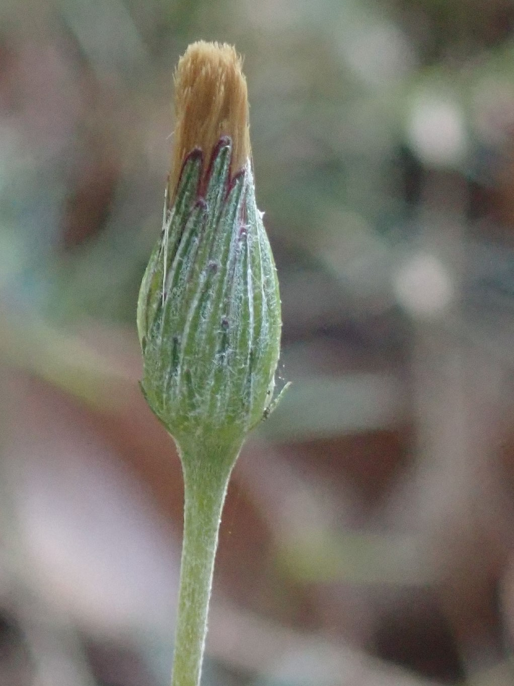 センボンヤリの閉鎖花