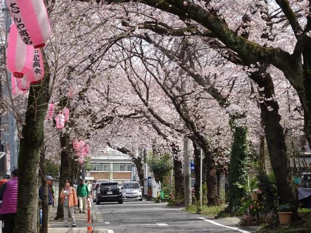 桜並木       胴吹き桜
