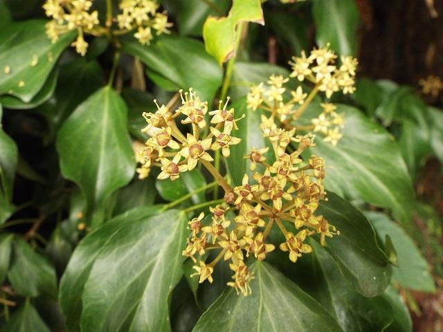 キヅタ(花)