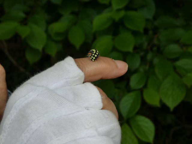 シロシタホタルガの幼虫