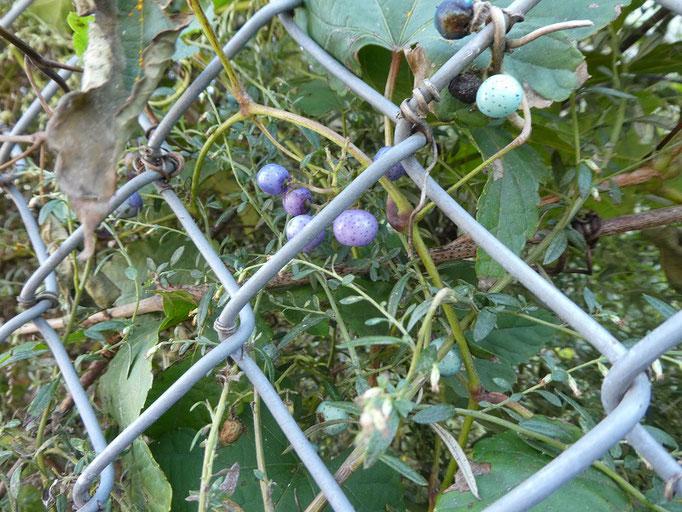 フェンスにノブドウ