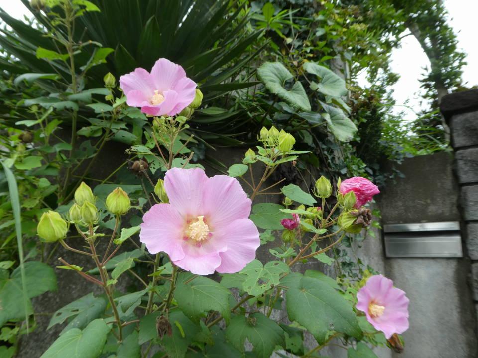 フヨウの花も咲いていました