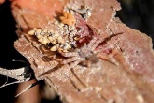 キハダカニグモ