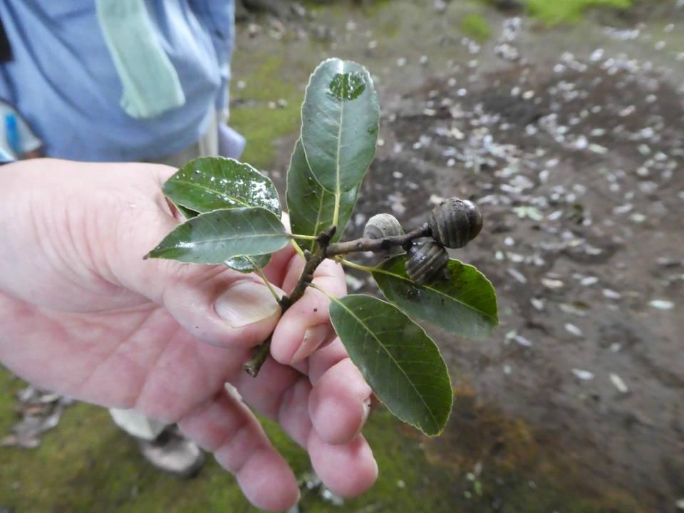 ハイイロチョッキリに落とされた枝