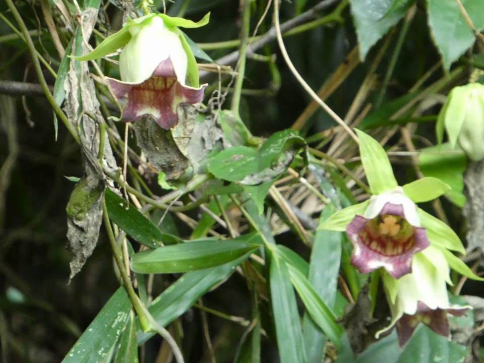 バアソブの花