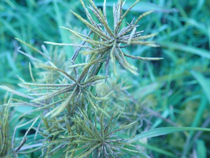 ホソミキンガヤツリ