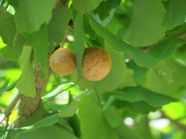 ヤブミョウガ     イチョウ   ナガコガネグモ(卵嚢)ジャコウアゲハ(蛹)