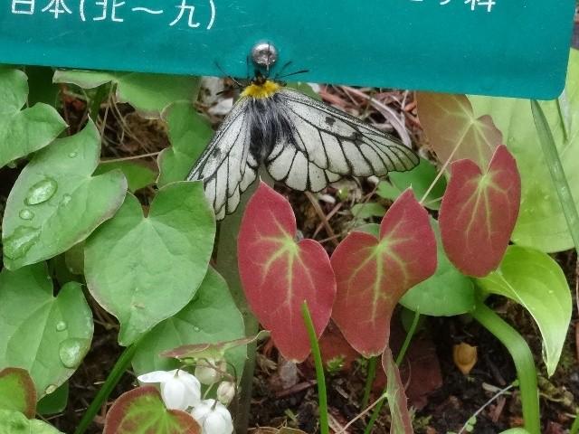 ④ウスバシロチョウ