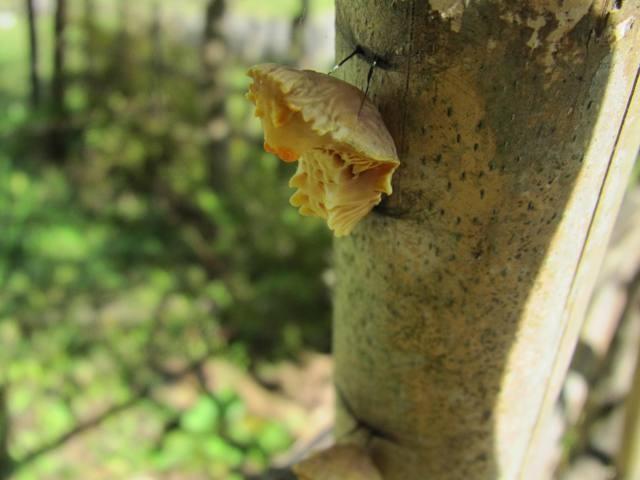ジャコウアゲハ(蛹)
