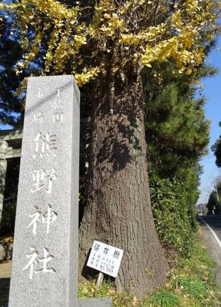 イチョウ(熊野神社)