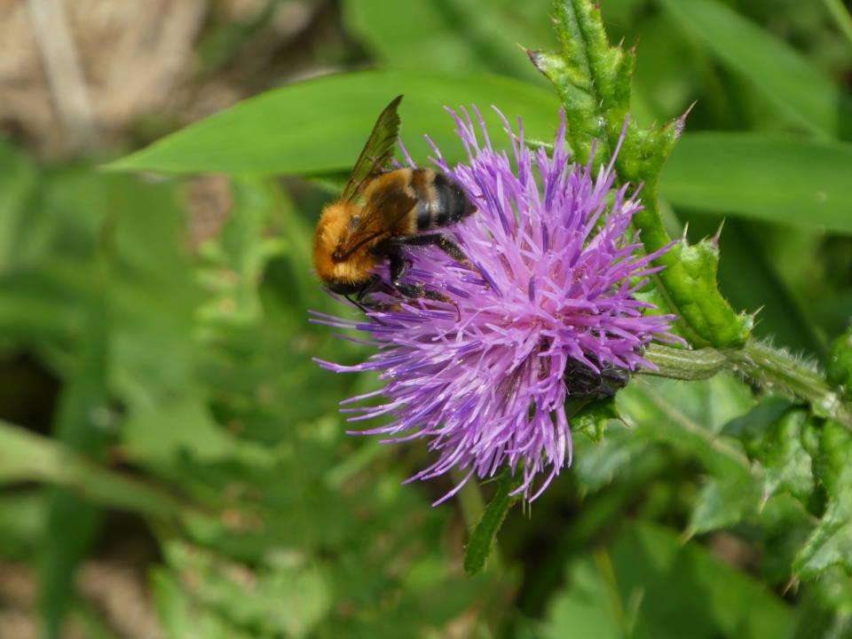 ノアザミとミツバチ