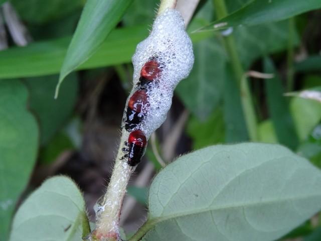 ①シロオビアワフキ(幼虫)