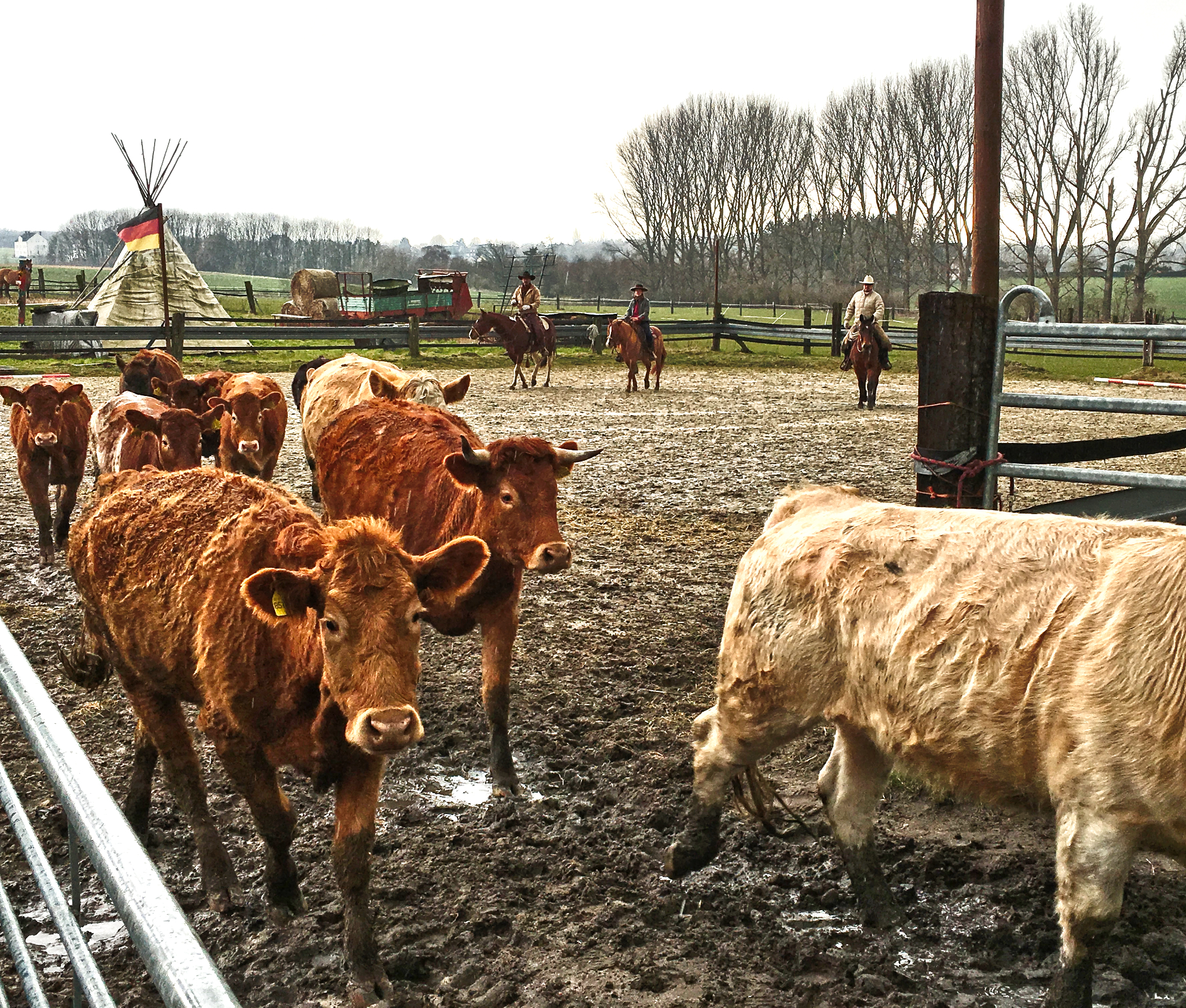 (C) JBK, Rinder eintreiben, City Ranch Dortmund 2016